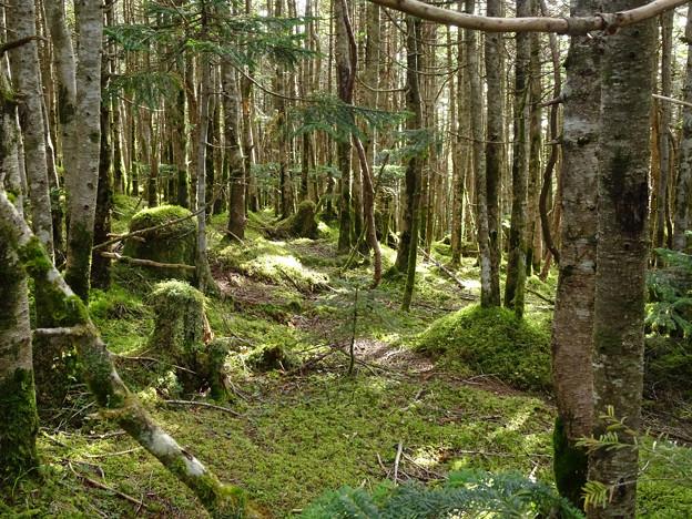 苔むす北八つの森