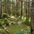 Photos: 苔むす北八つの森