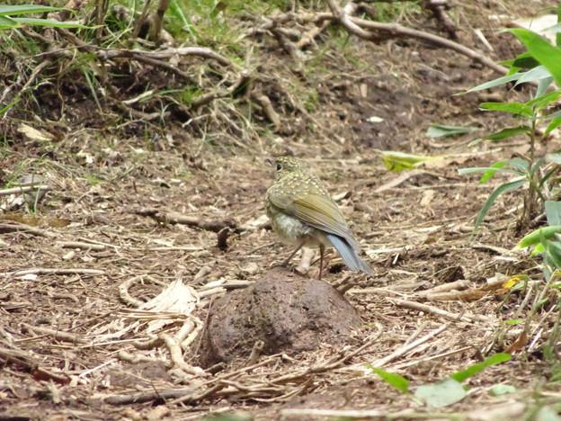 Photos: このとりなに鳥(ルリビタキの幼鳥・森太郎さんに教えてもらった)
