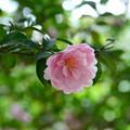 寒ツバキの花