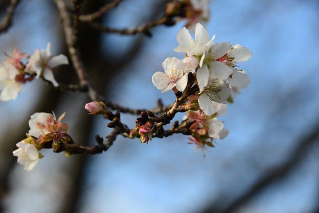 Photos: 冬桜ー2、