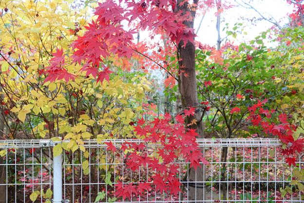 Photos: もみじ紅葉