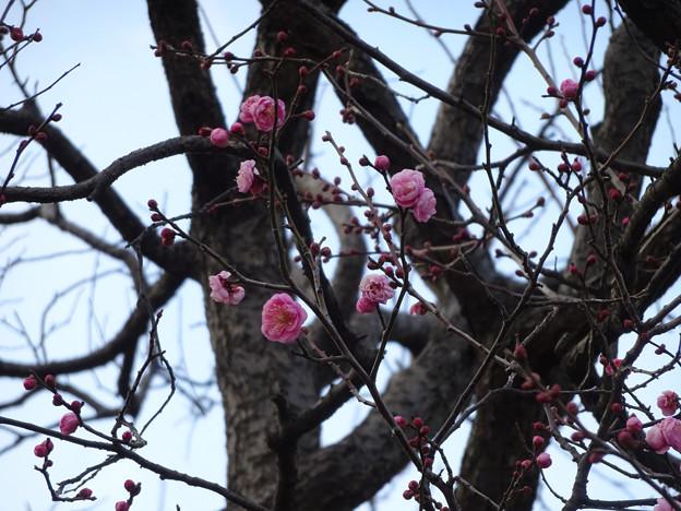 梅は咲いたか桜は・・