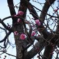 Photos: 梅は咲いたか桜は・・