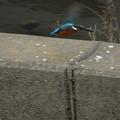 Photos: カワセミの飛翔