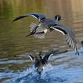 Photos: オナガガモの翼鏡