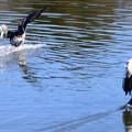 Photos: ヒドリガモの翼鏡