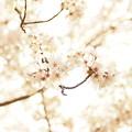 Photos: 朝の桜