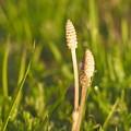 写真: 春のつくし