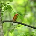 写真: 火の鳥アカショウビン2