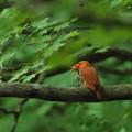 写真: 火の鳥アカショウビン モリアオガエル銜えて