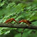 写真: 火の鳥アカショウビン求愛給餌
