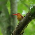 写真: 火の鳥アカショウビン