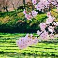 写真: 春光