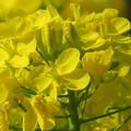 Photos: 菜の花が眩しいわ