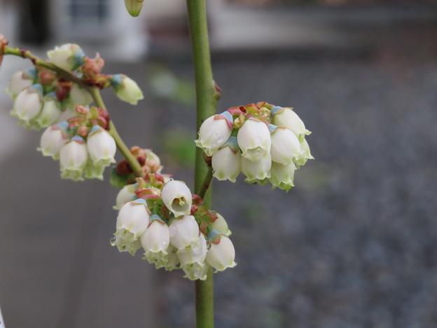 Photos: ブルーベリーの可愛いお花