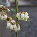ブルーベリーの可愛いお花