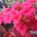 カランコエの赤い花