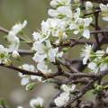 Photos: プラムの花が咲きだしました