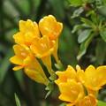 Photos: 黄色のフリージア