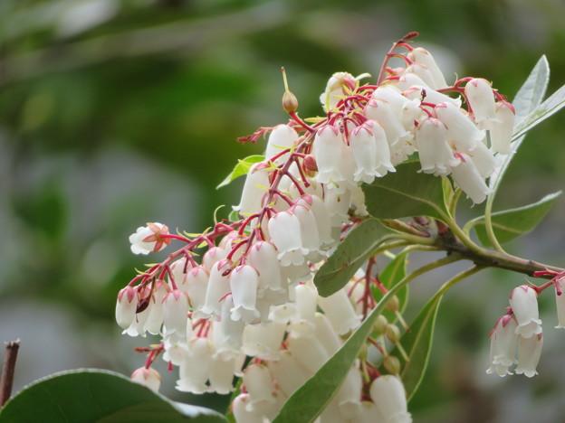 Photos: 馬酔木の花