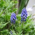 菊の間からムスカリが背伸び