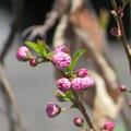 Photos: 庭桜のつぼみ