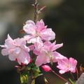 ハナカイドウが咲いたわ
