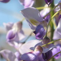 Photos: 藤の花早くも開花