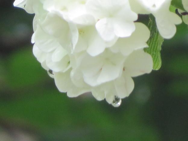 雨に濡れたオオデマリ