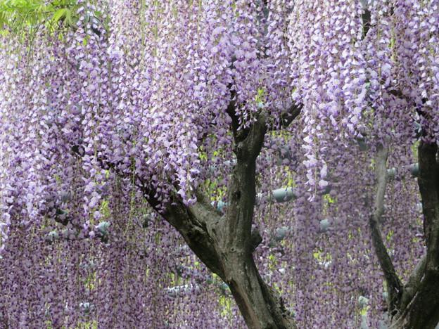 藤の花のシャワー