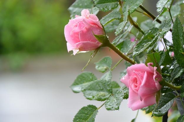 雨降りの中の薔薇は