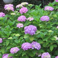 Photos: 紫陽花の庭