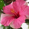 Photos: ピンク色のはずが白いのはなぜ?