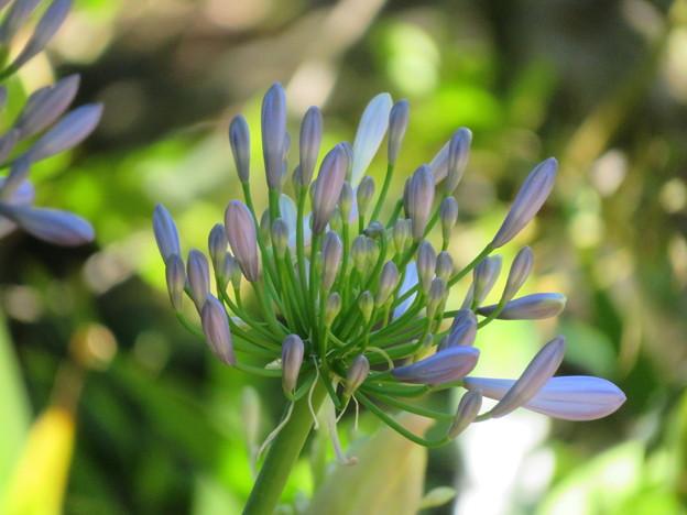 アガパンサスに花芽がついたわ