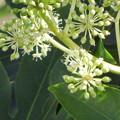 Photos: 天狗の葉団扇に花が咲きだしました