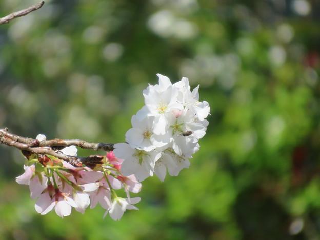 桜色・・・
