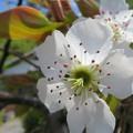 Photos: 剪定後初の梨の花