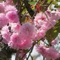 Photos: 八重桜関山満開です!