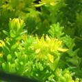 Photos: スナゴケの花