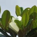 Photos: 白い大きな花