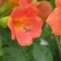 Photos: ミツバチさんもうれしそう