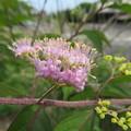 コムラサキの小さなお花たち