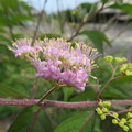 Photos: コムラサキの小さなお花たち