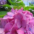 紫陽花の本当の花