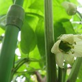Photos: パプリカに花が咲いた よ