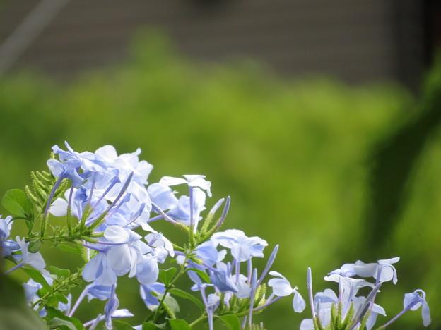 Photos: 薄紫のルリマツリ