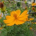 庭の黄花コスモス