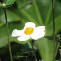 白のシュウメイギク咲き始めた