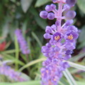 ヤブランの小さな花